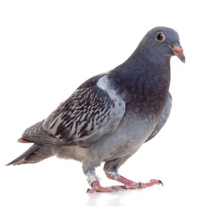 A Pigeon, Yesterday