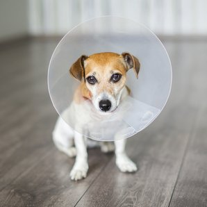 Dog wearing anti-scratch cone stock image